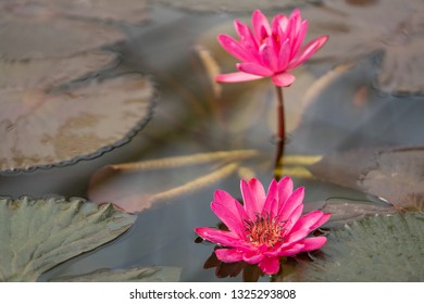Selective focus close up shot of two hot pink lotus flower with lotus leaf in clear water in the pond with morning sunlight. The meaning of purity and devotion in buddhism.