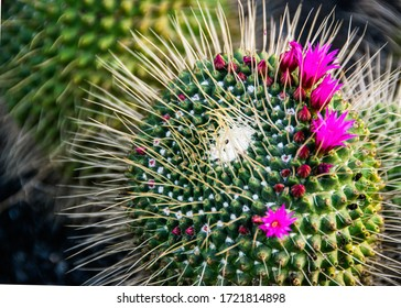 Selective focus close-up on a flowering mammillaria melanocentra cacatus with beautiful magenta flowers.