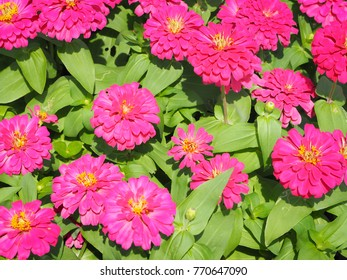 Selective focus close-up shot on blooming Beautiful of pink Flowers zinnia elegans. Color nature background. Beautiful of pink Flowers zinnia elegans. Color nature background.