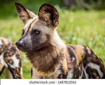 A selective focus closeup shot of a spotted wild African dog in a green grassy field