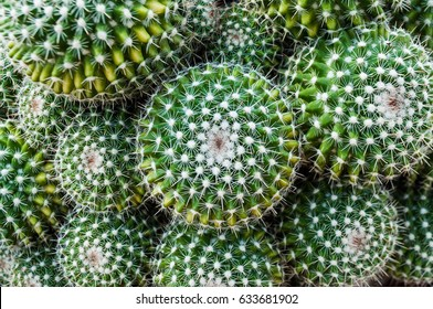 Selective focus close-up top-view shot on Golden barrel cactus (Echinocactus grusonii) cluster. well known species of cactus, endemic to east-central Mexico widely cultivated as an ornamental plant.