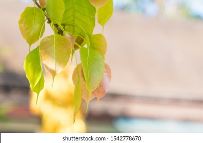 Selective  focus  colorful  Bodhi  leaves  from  branch  of  the  tree  with  nature  blurry  background