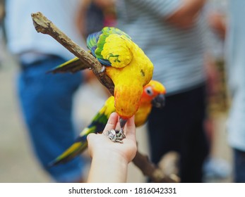 Selective focus of colorful sun parakeet or conure parrots on branches. People hand feed Sunflower seed to the bird. The bird bends down to eat. Pet and outdoor activities concept.