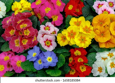 Selective focus of colourful Primula vulgaris, Common primrose is a species of flowering plant in the family Primulaceae, Little multi colour flowers in the garden, Nature spring floral background.