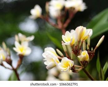 selective focus crop close-up on yellow white flowers of Frangipani, Plumeria, Templetree exotic aroma smell BALI style spa flowers on a sunny day with green garden blur authentic background