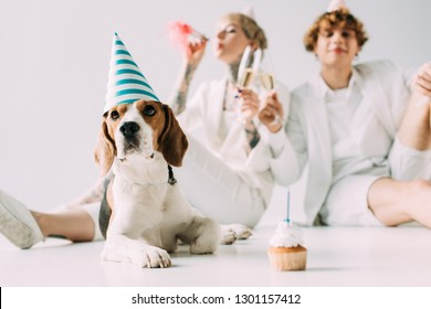 selective focus of cute beagle dog in party cap near couple holding glasses of champagne on grey background