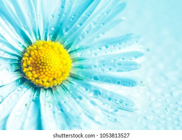 Selective focus of daisy flowers in blue color for nature background