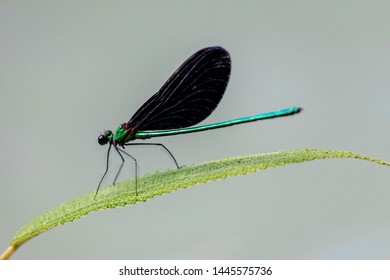 Selective focus of Damselflies on green leaf in summer, Close Up small dragonfly on green leaves with blur background, Wildlife of insect.