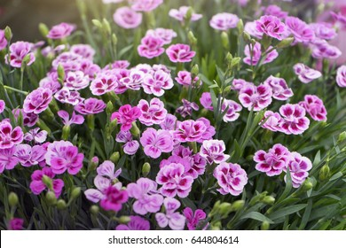 Selective focus of Dianthus caryophyllus Pink Kisses in the garden