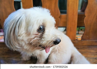 Selective focus of a dog's side view face, showing its tear stain. A mixed breed dog of Maltese and Shihtzu.