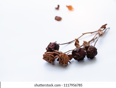 In selective focus of dried rose group on white background,blurry light around.