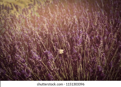 Selective focus of drying Lavender flowers with retro fliter, Image of a summer purple lavender field with one butterfly in vintage tone