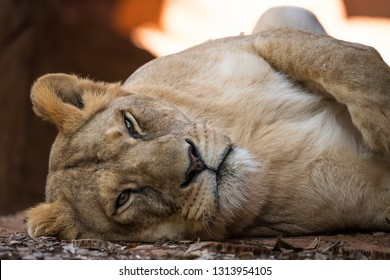 Selective focus the face of Lioness is having rest on day.