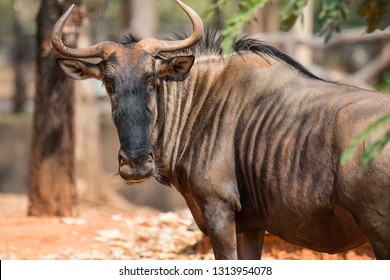 Selective focus the face of wilderbeast,  Wildebeest's looking to camera.