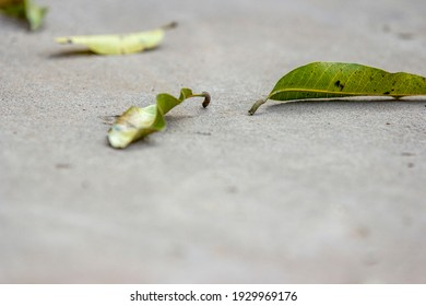 Selective focus of fallen green leave on the concrete floor. The dirty floor with fallen mango leave.