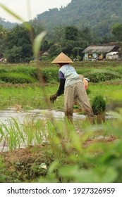 selective focus farmers planting rice seeds in rice fields, pujut, stems, Indonesia, February 21, 2021