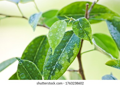 Selective focus. Ficus tree leaves in large drops of water. Weeping fig, benjamin fig (Ficus benjamina). Close-up. Natural background.