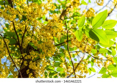 Selective focus fresh yellow flowers of Cassia fistula also known as golden shower tree at Deer Park in Hauz Khas complex at Delhi, India.