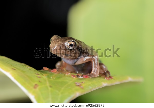 Selective focus of froglet of masked tree frog or scientifically known as Rhacophorus angulirostis from Borneo