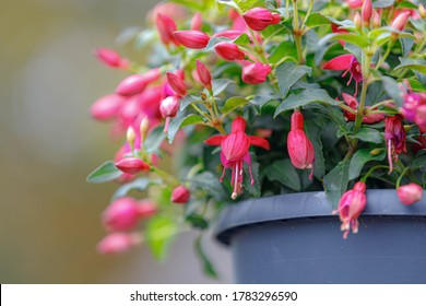 Selective focus of Fuchsia magellanica, The red pink flower in the garden, Hummingbird fuchsia or hardy fuchsia is a species of flowering plant in the family Evening Primrose family, Floral background
