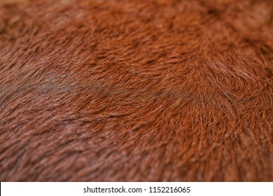 Selective focus of fur cow leather texture background.Natural Fluffy brown cowhide skin.