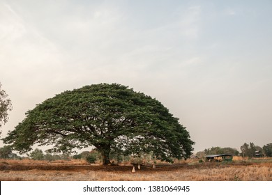 Selective focus giant Monkey pod tree in dried field.Also sometimes known as Samanea saman,Albizia Saman or the rain tree.