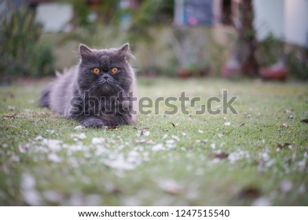 b8a8ffee39c565 Selective Focus Gray Cat Watching Boss Stock Photo (Edit Now ...