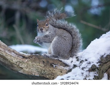 A selective focus of a gray squirrel on a snow-covered tree