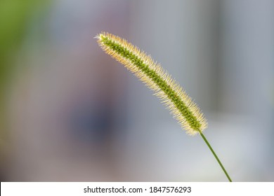 Selective focus of green fluffy flower of grass in the garden, Setaria viridis is a species of grass known by many common names including green foxtail, Green bristlegrass and wild foxtail millet.