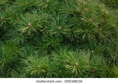Selective focus of green needle leaves of Stone pine (Parasolden) in the garden, The stone pine botanical name Pinus pinea, Nature pattern texture background.