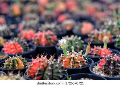 selective focus of Gymnocalycium cactus decorate In cactus garden