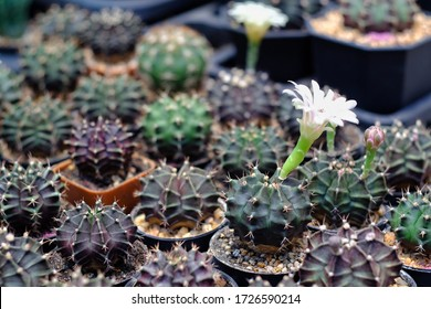 selective focus of Gymnocalycium cactus with white flower decorate In cactus garden