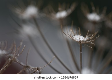 Selective focus of Heracleum mantegazzianum on edge of forest. Known as giant hogweed or cartwheel-flower. Dry and snowed plant in the winter.