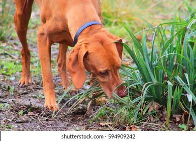 selective focus of Hungarian Vizsla dog smelling for hunting in garden, England UK.
