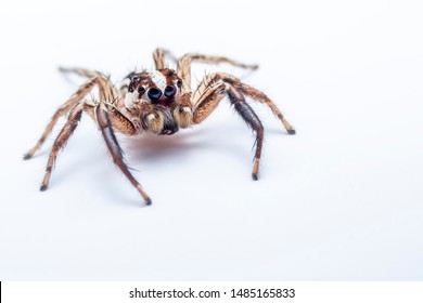 Selective focus of the jumping spider on white background. Close up of the side corner of the jumping spider on white paper background.