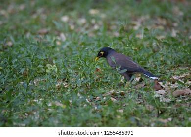 selective focus at little Myna bird that was looking at little straight green plant considerably.