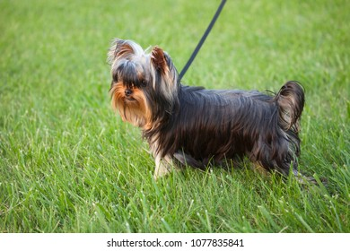 Selective focus low angle view of a cute yorkie puppy in the grass