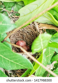 selective focus macro shot of natural woods bird nest with two brown eggs hidden among the leaves of longan tree