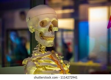 Selective focus, medical object, human skeleton model