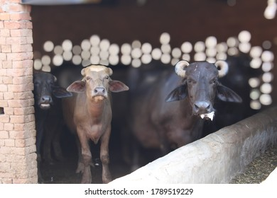 Selective focus Murrah buffalos a breed of water buffalo in animal farm