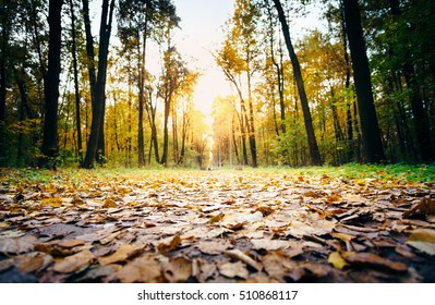 Selective focus on autumn forest woods with gold foliage and footpath leading into sunset. Autumn woods nature at fall, natural background. Golden autumn sunset. Outdoor autumn nature woods landscape