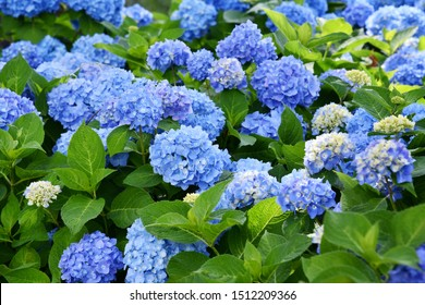 Selective focus on beautiful bush of blooming blue, purple Hydrangea or Hortensia flowers (Hydrangea macrophylla) and green leaves under the sunlight in summer. Natural background.
