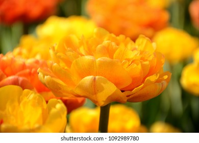 Selective focus on a beautiful pale orange double flowering tulip.