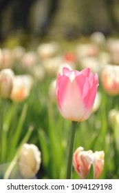 Selective focus on a beautiful pink tulip flower blooming under spring sunlight.