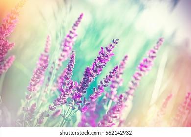 Selective focus on beautiful purple flowers in meadow - wild spring flowers