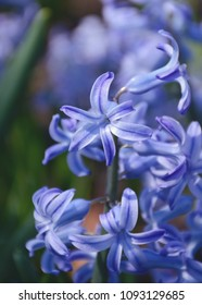 Selective focus on blooming blue hyacinth flowers.