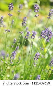 Selective focus on blooming lavender flowers on a sunny summer day.
