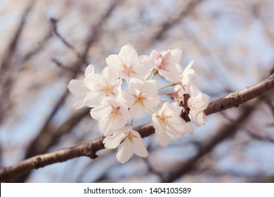 Selective focus on blooming sakura cherry tree branch.