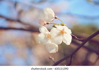 Selective focus on blooming sakura cherry tree branch. /Sakura Cherry Blossoms