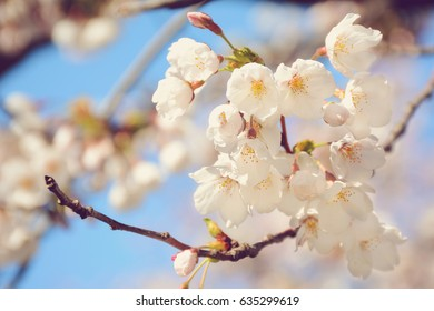 Selective focus on blooming sakura cherry tree branch./Sakura Cherry Blossoms